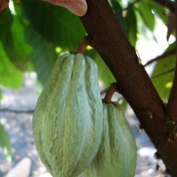 cacao produciendo